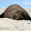 One seal lying on the rock surface — Stock Photo