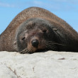 One seal lying on the rock against blue sky background — Stock Photo