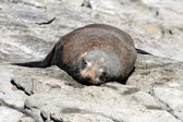 One ufr seal lying above rock — Stock Photo