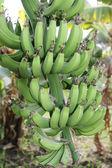 Branch of green bananas — Stock Photo
