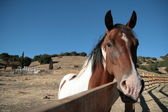 Spotted stallion at fence on ranch — Stock Photo