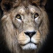 Portrait of Lion - Stock Photo
