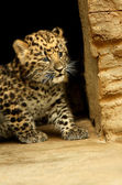 Amazing baby of leopard — Stock Photo
