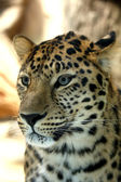 Amazing leopard — Stock Photo