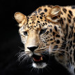 Amazing leopard — Stock Photo