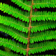 Fern leaf — Stock Photo #17153297