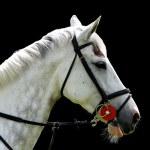 White horse isolated on black background — Stock Photo