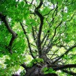 Stock Photo: Chestnut tree