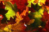 Beau fond de feuilles d'érable — Photo