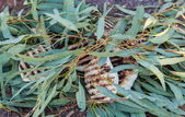 Traditional bush tucker barbecued meat in eucalyptus leaves. Flinders Ranges. South Australia. — Stock Photo