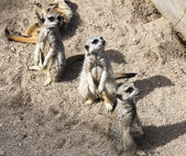 Meerkat (Suricata suricatta). Live in savannah and desert areas of Angola, southern Botswana, Namibia and South Africa. — Foto Stock