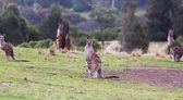 Kangaroos at sunset. Eurobodalla national park. NSW. Australia — Stock Photo