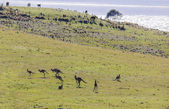 Hopping kangaroos. Bingie (near Morua) . NSW. Australia — Stock Photo