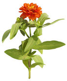 Drawing of orange flower on white background — Stock Photo
