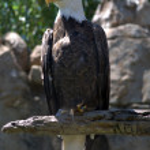 American Bald Eagle in Profile — Stock Photo #10762730