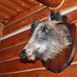 Foto Stock: Stuffed wild boar on wall of hunting Lodge