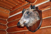 Stuffed wild boar on the wall of the hunting Lodge — Стоковое фото