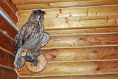 A stuffed owl decorates the wall of a log house — Stock Photo