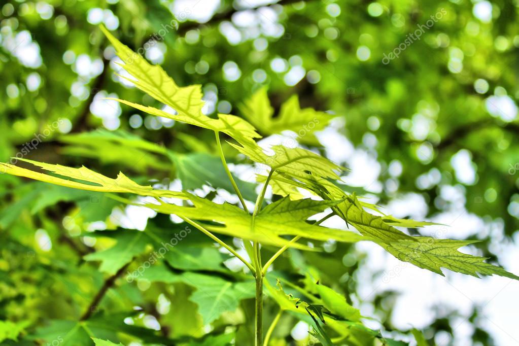 绿色的枫叶.春天的心情
