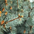 Green pine branch with needles — Stock Photo