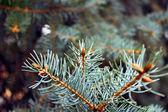 Zelené borové větve s jehlami — Stock fotografie