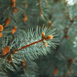 Stock Photo: Green pine branch with needles