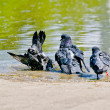 Pigeons on the nature. Bath scene — Stock Photo