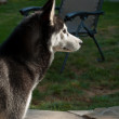 Husky — Stock Photo #13406641