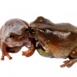 Stock Photo: Dumpy Tree Frogs