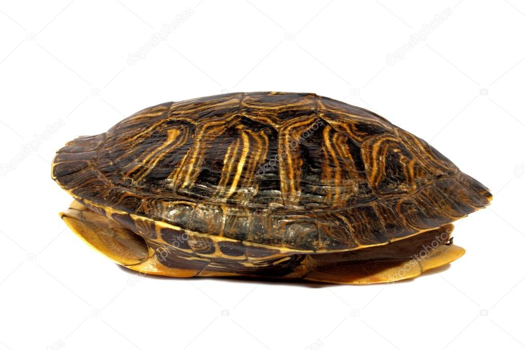 Turtle Shell Vector Hollowed Out Turtle Shell