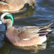 American Wigeon - Stock Photo