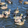Overwintering Ducks - Stock Photo