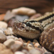 Rattlesnake — Stock Photo #19021309