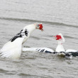 Stock Photo: Fighting Muscovy Ducks