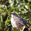 Stock Photo: Northern Mockingbird