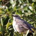 Northern Mockingbird — Stock Photo