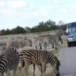 Zebra Safari - Stock Photo
