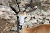 Springbok — Stockfoto