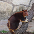 Tree Kangaroo — Foto Stock