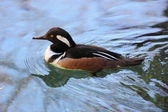 Hooded Merganser — Stock Photo