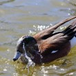 Duck Bathing - Stock Photo