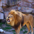African Lion Roaring - Stock Photo