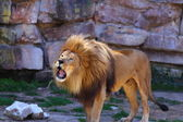 African Lion Roaring — Stock Photo