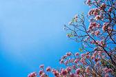 Cherry flower on blue sky background — Foto de Stock