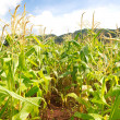 Corn Field — Stock Photo #33933215