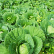 Green cabbages in the agriculture fields — Stock Photo