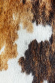 Close up of cowhide dapple background — 图库照片