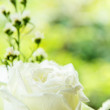 White rose — Foto Stock