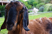 Porträtt av en get i gården — Stockfoto