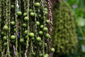 Arenga pinnata palm seed — Stock Photo